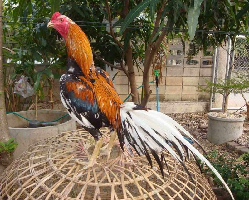 Warna Bulun Ayam Bangkok