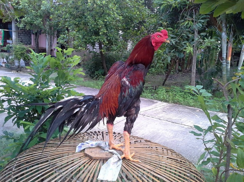 ciri ayam bangkok juara