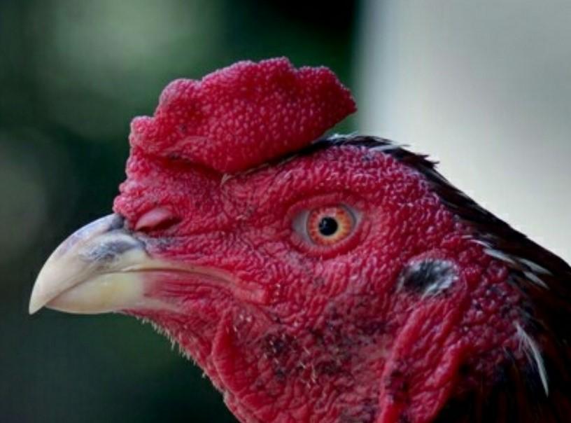 mata ayam bangkok