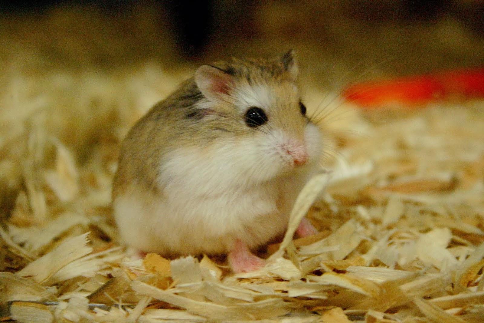 Cara Ternak Hamster