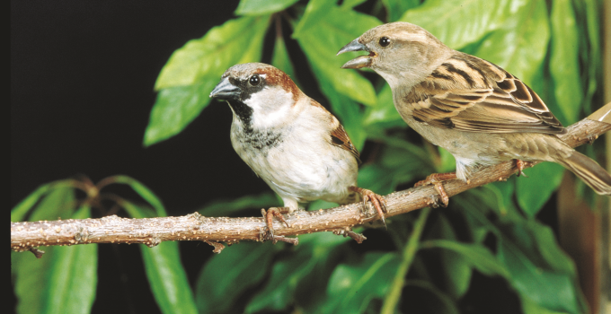 Habitat Burung Gereja