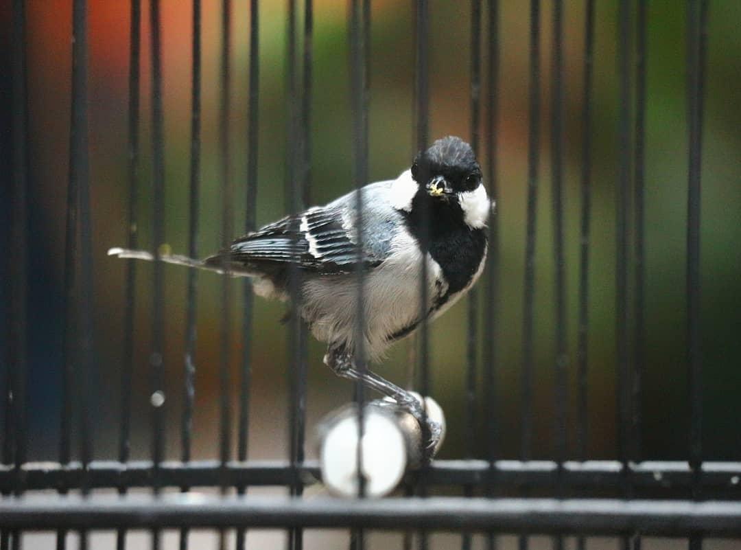 Melakukan Mastering Burung Gelatik