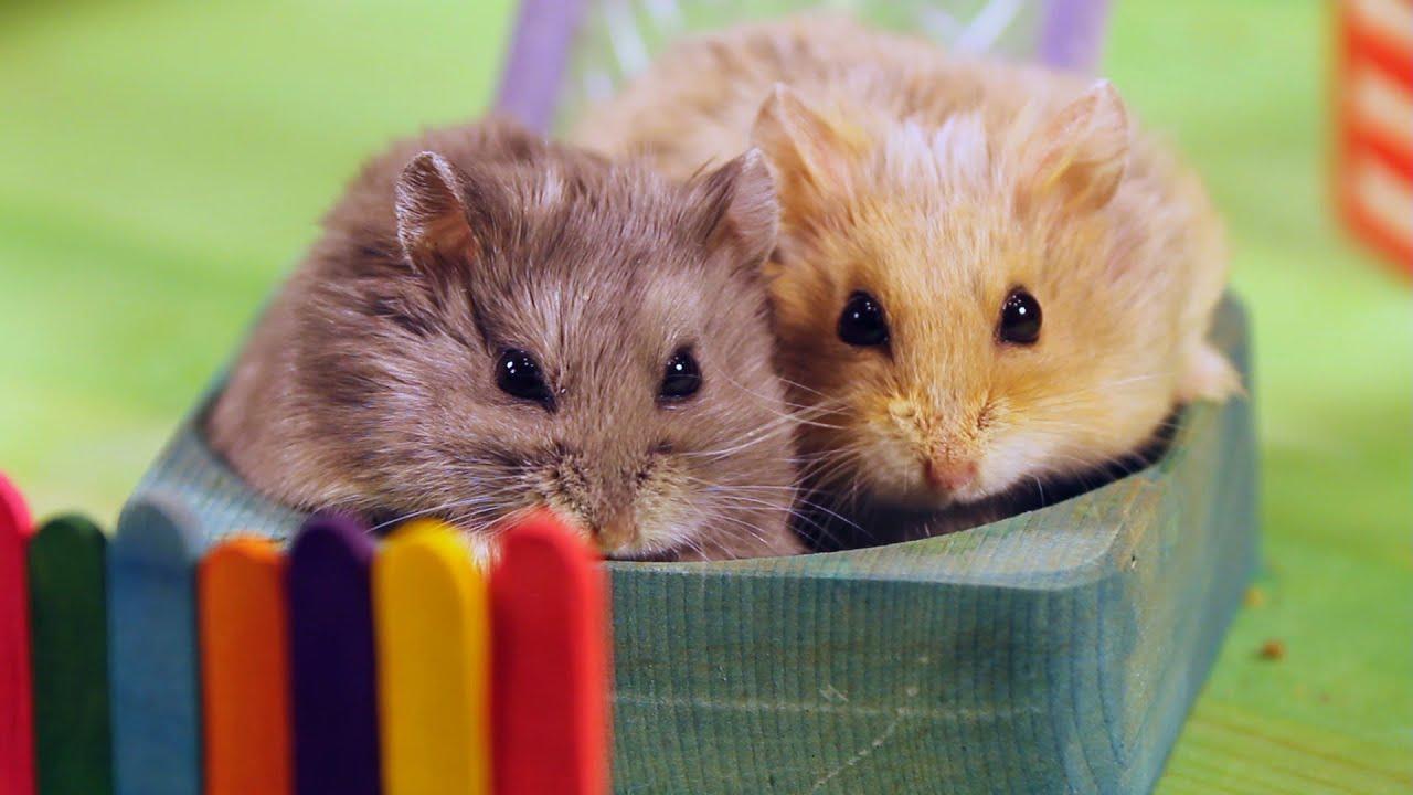 Memanen Hamster