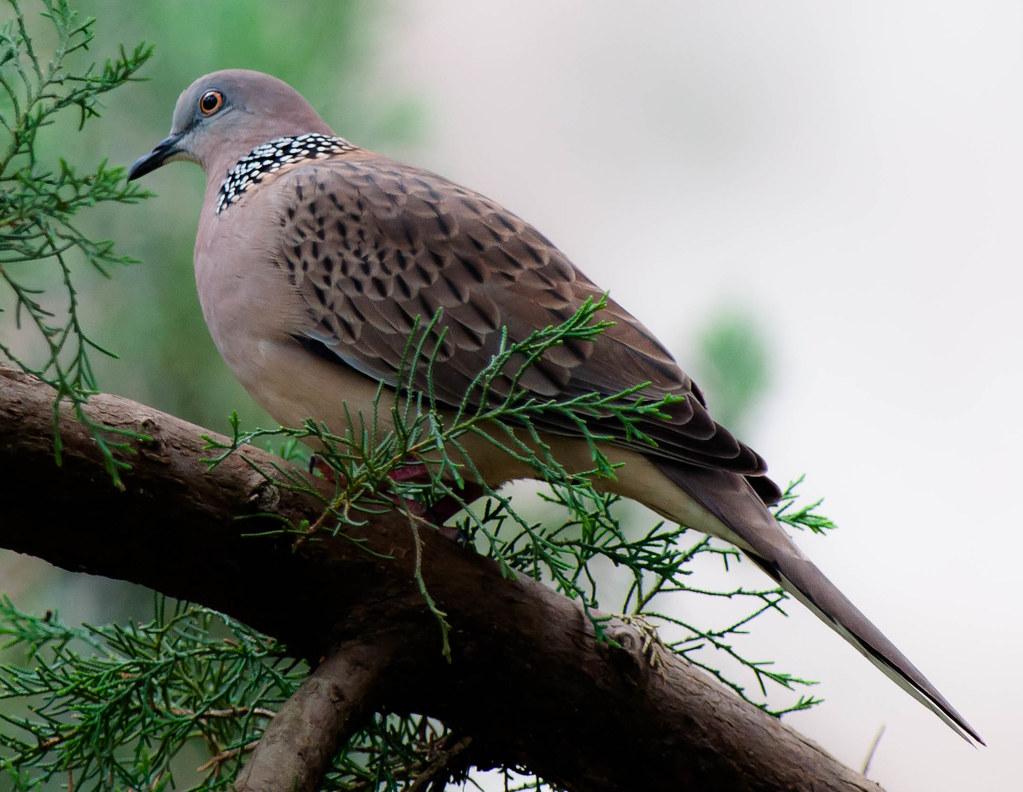 Membentuk Suara Burung Derkuku