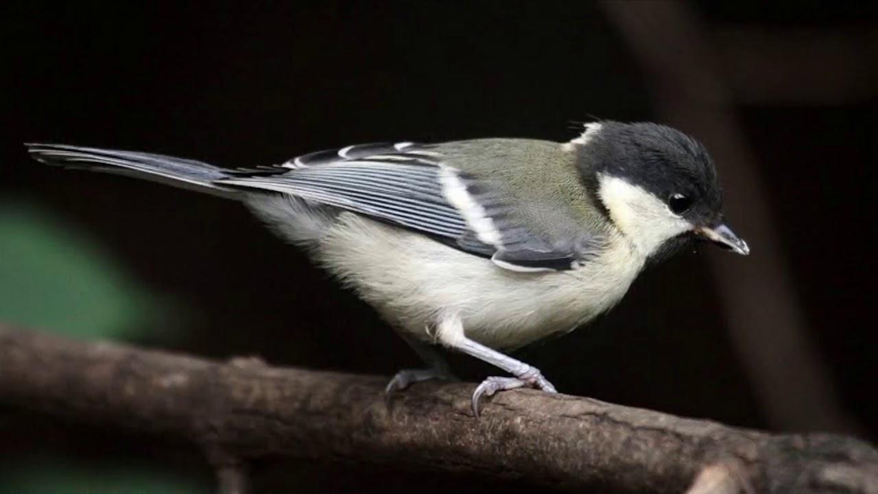 Membentuk Suara Burung Gelatik