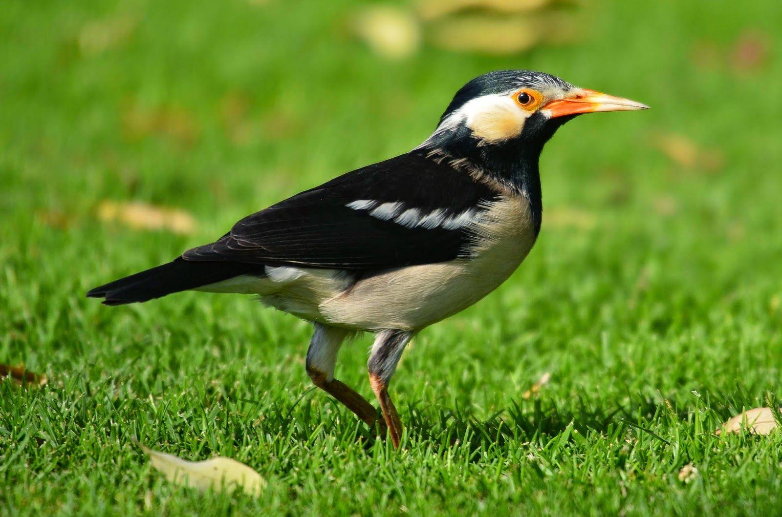 Membentuk Suara Burung Jalak Suren