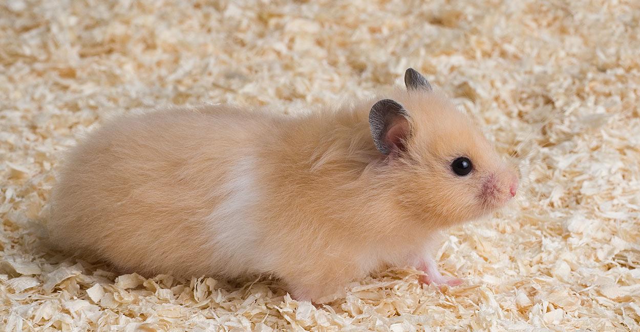 Memilih Indukan Hamster