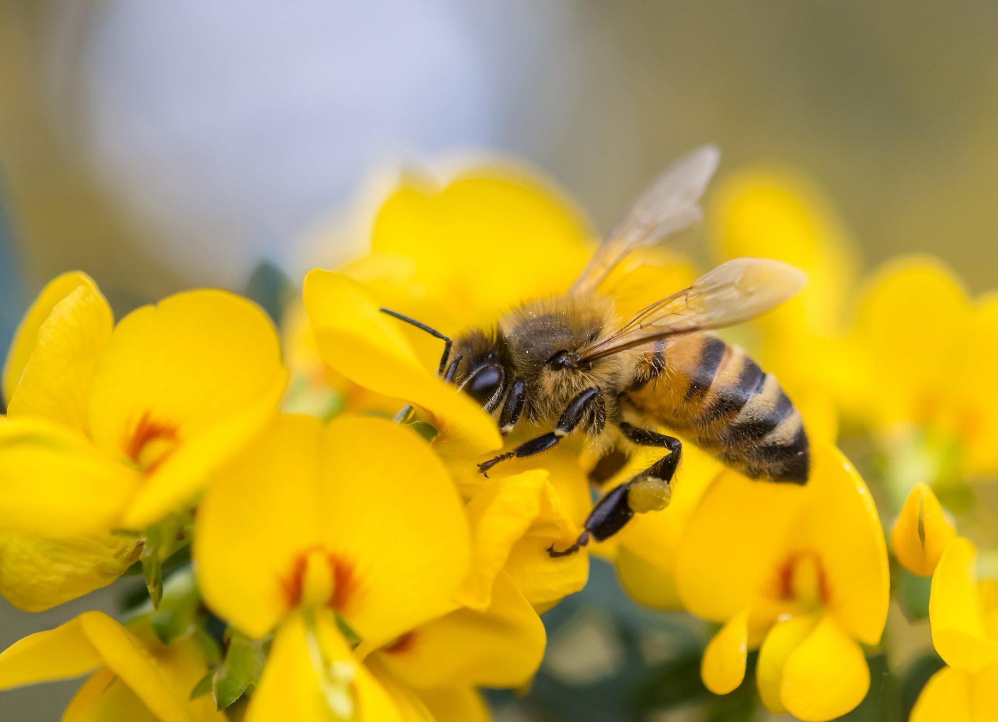 Pakan Lebah Madu