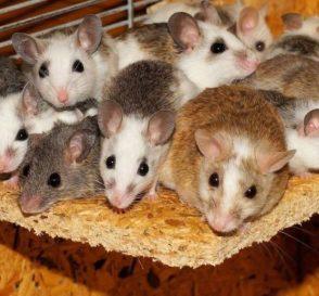 Pembesaran Hamster