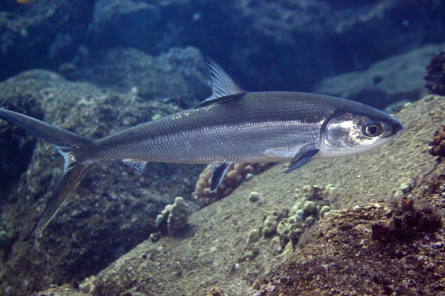 Pembesaran Ikan Bandeng