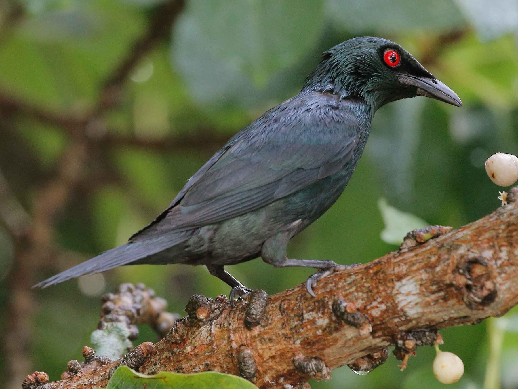 Suara Burung Cucak Keling