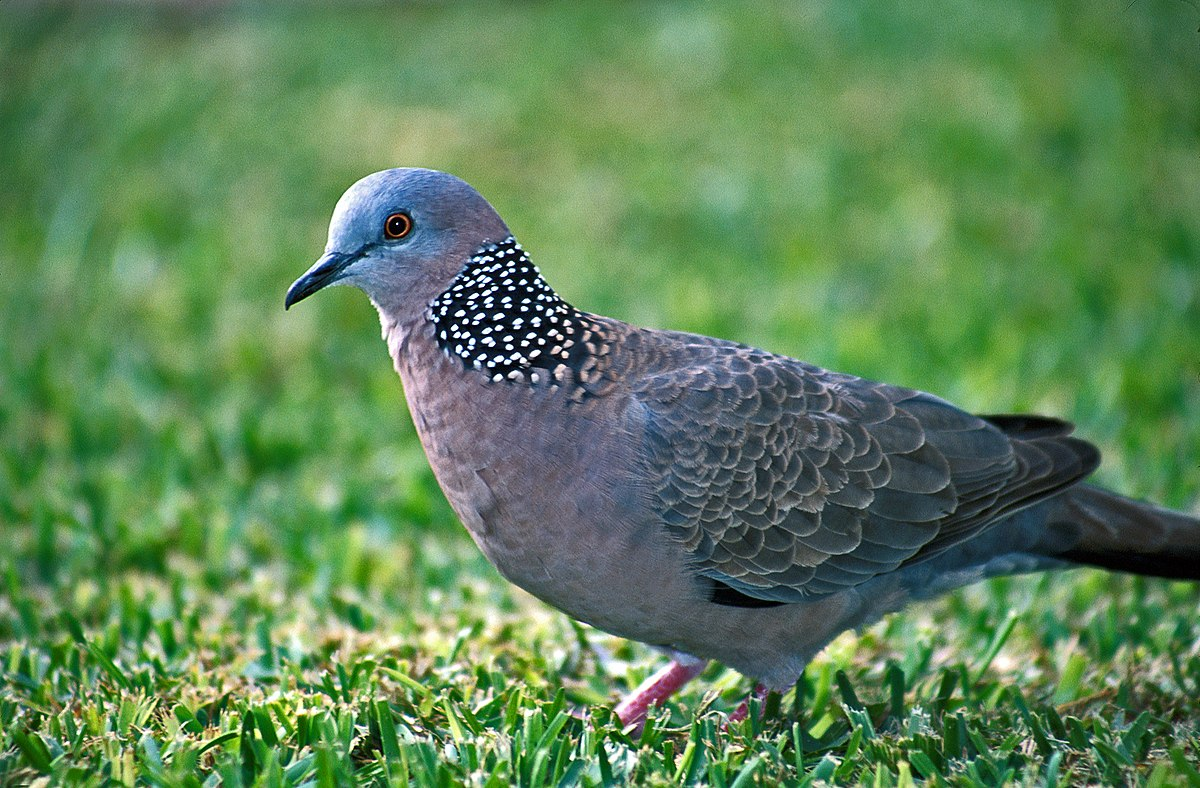Suara Burung Derkuku