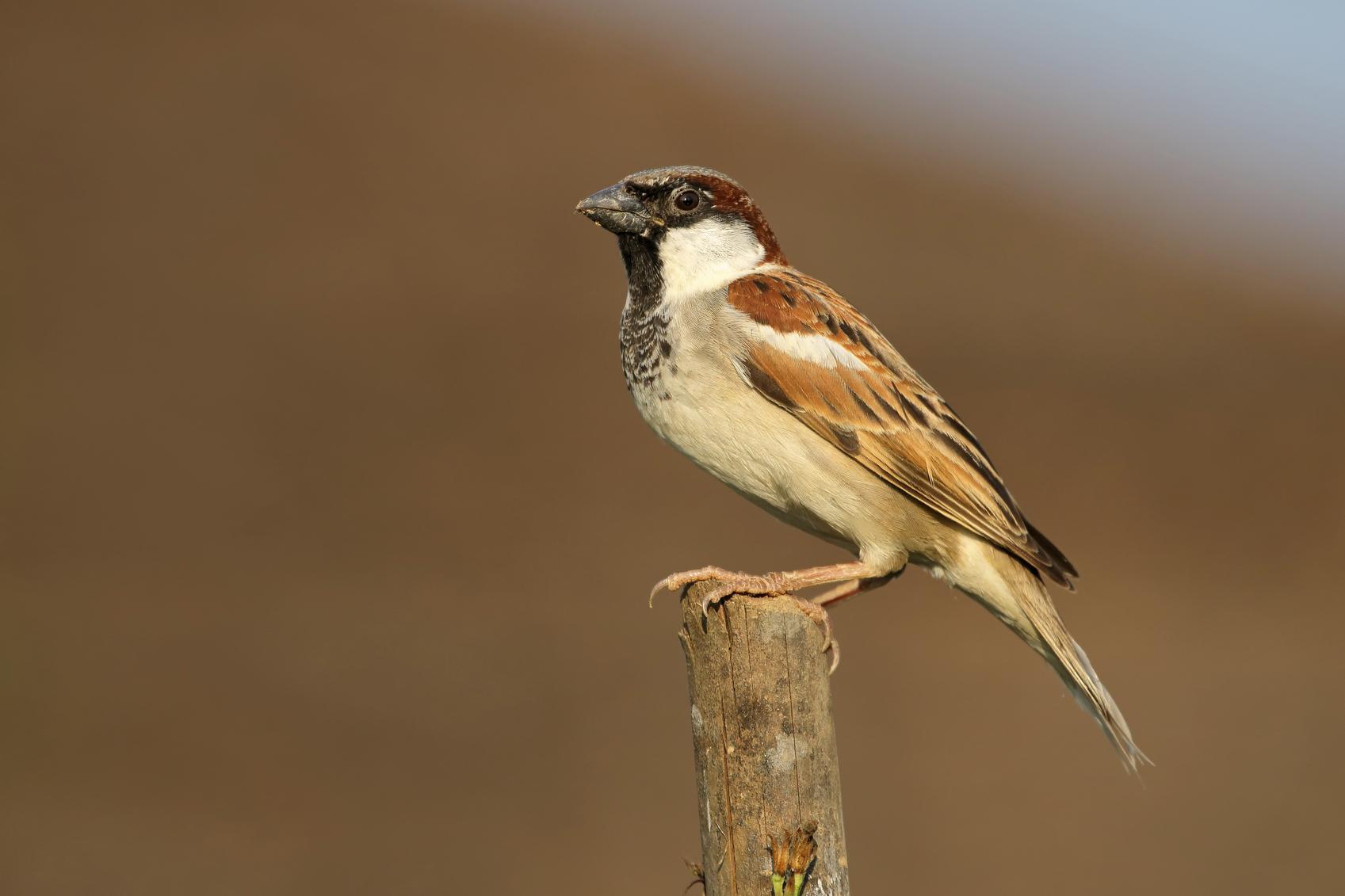 Suara Burung Gereja untuk Master