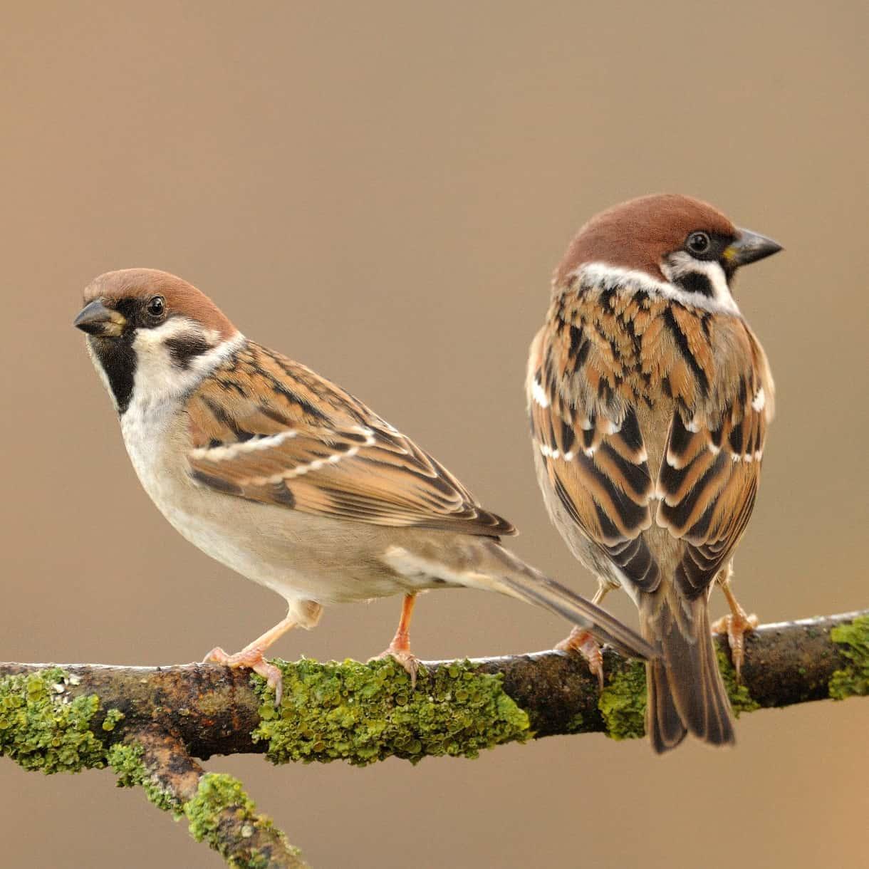 Suara Burung Gereja