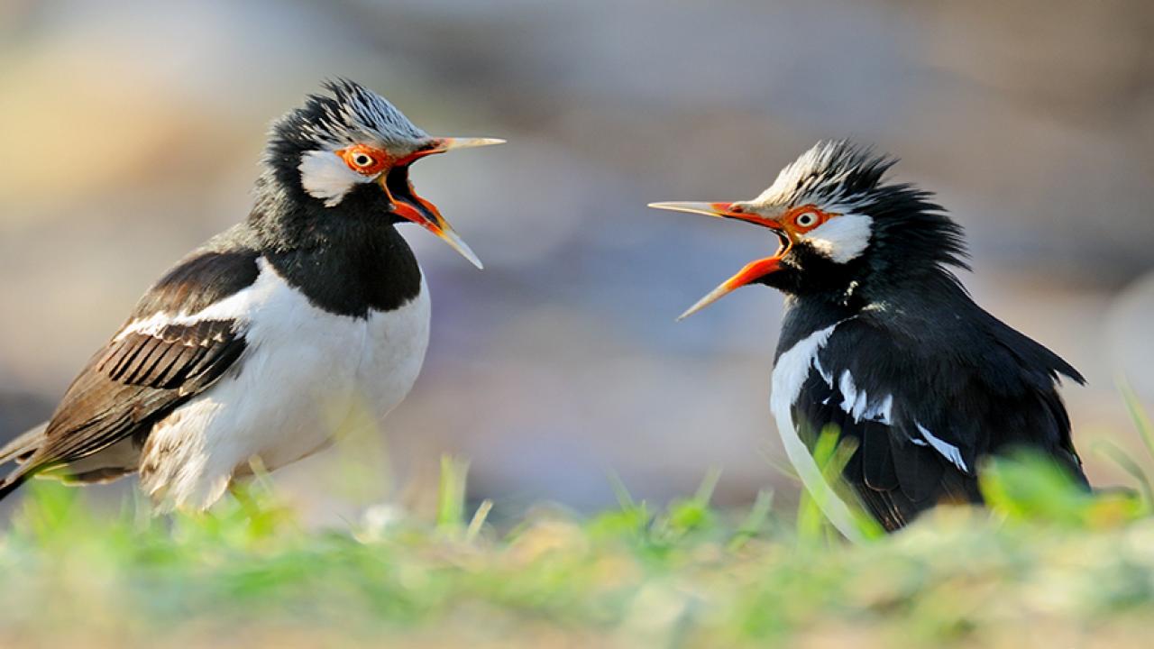 Suara Burung Jalak Suren