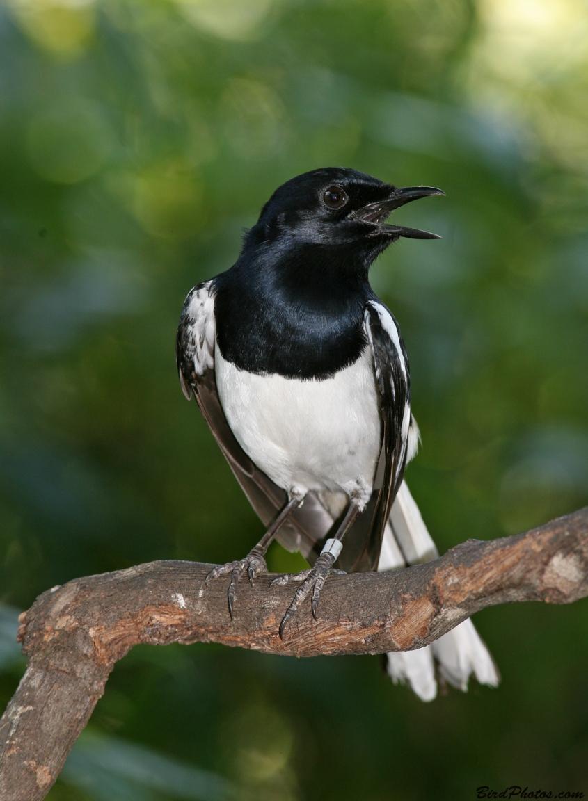 Suara Burung Kacer Juara