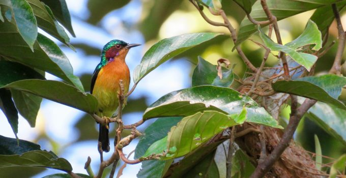 Suara Burung Kolibri Wulung