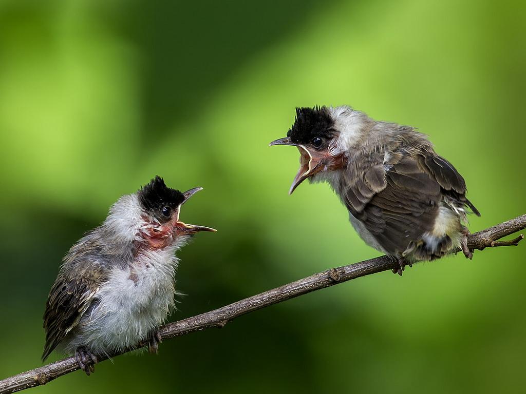 Anakan Burung
