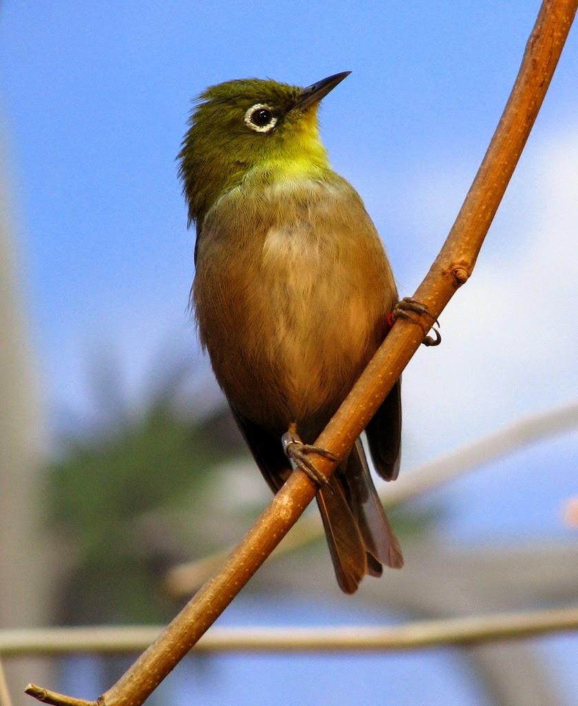 Memandikan Burung Pleci