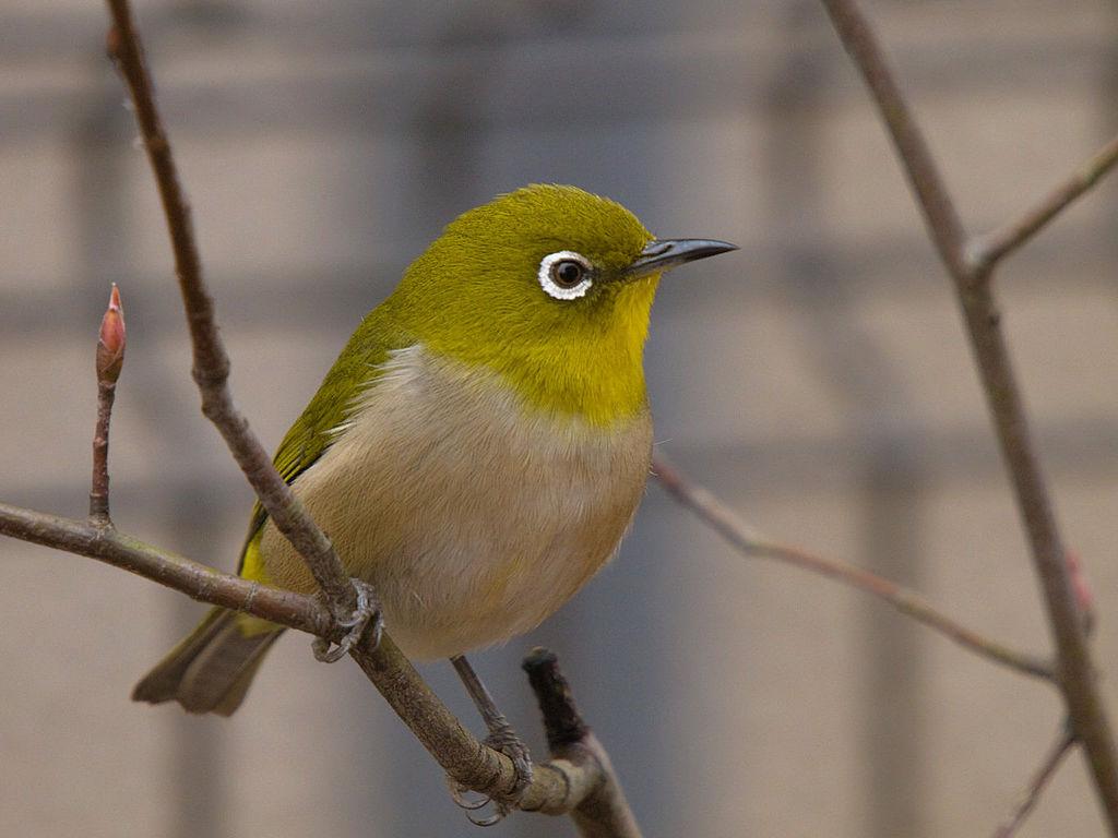 Membentuk Suara Burung Pleci