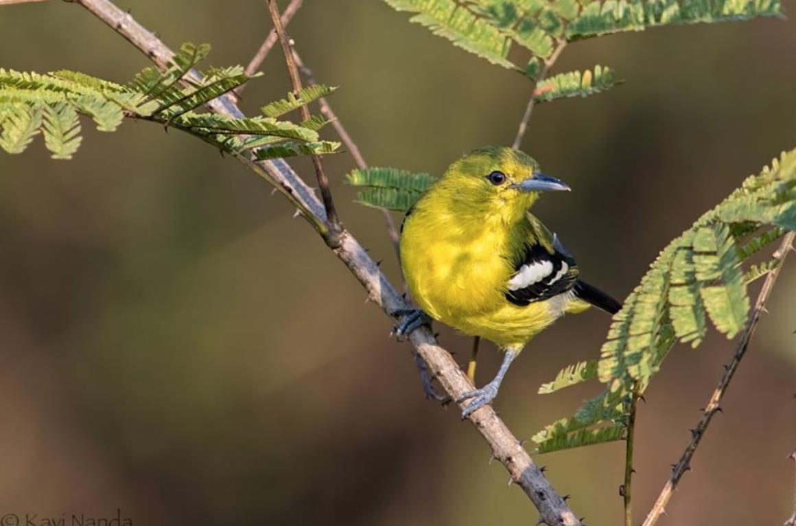 Membentuk Suara Burung Sirtu