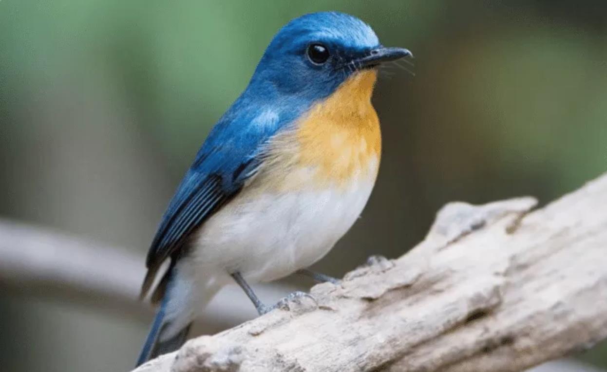Mendapatkan Suara Burung Tledekan