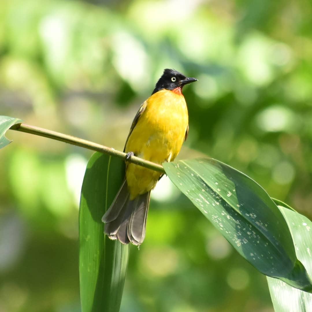 Download Suara Burung Kutilang Emas Rajin Ngoceh Dan Gacor Abahtani