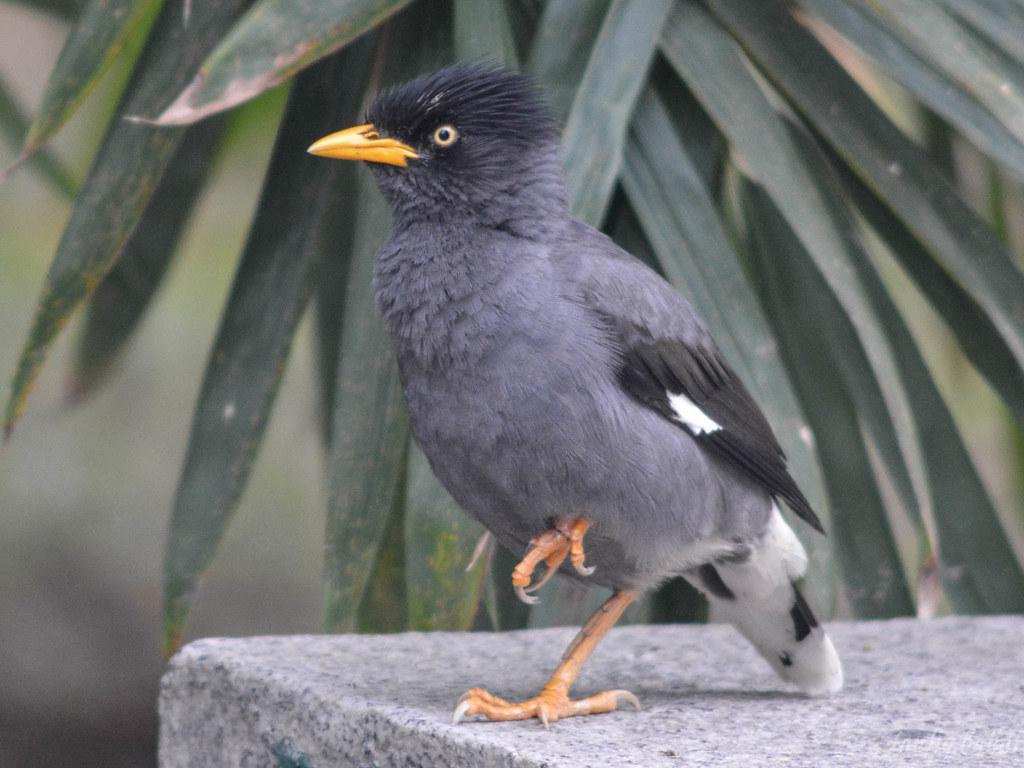 Suara Burung Jalak Kerbau Yang Rusak