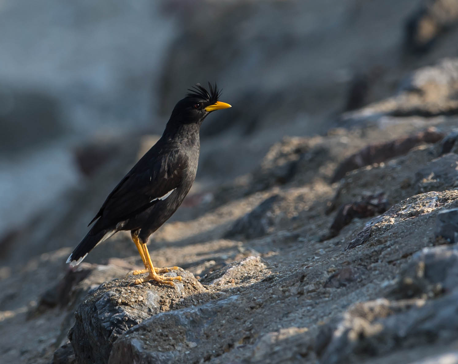 Suara Burung Jalak Kerbau
