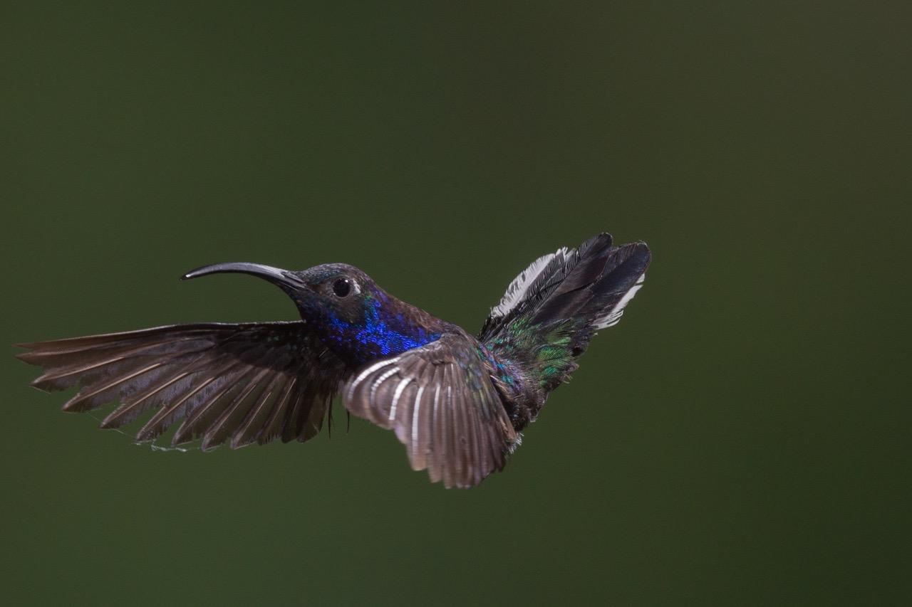 Suara Burung Kolibri Ninja