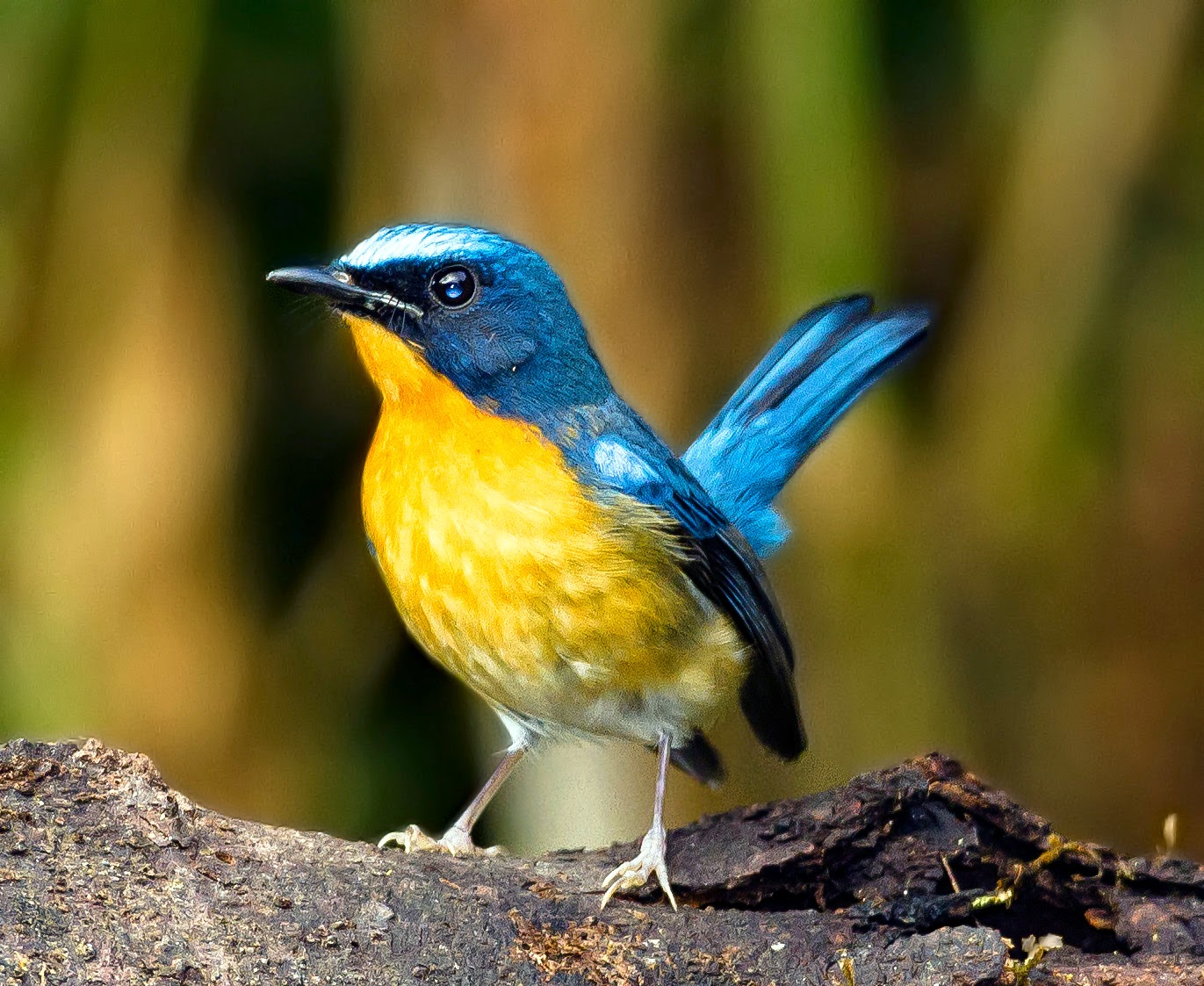 Suara Burung Tledekan